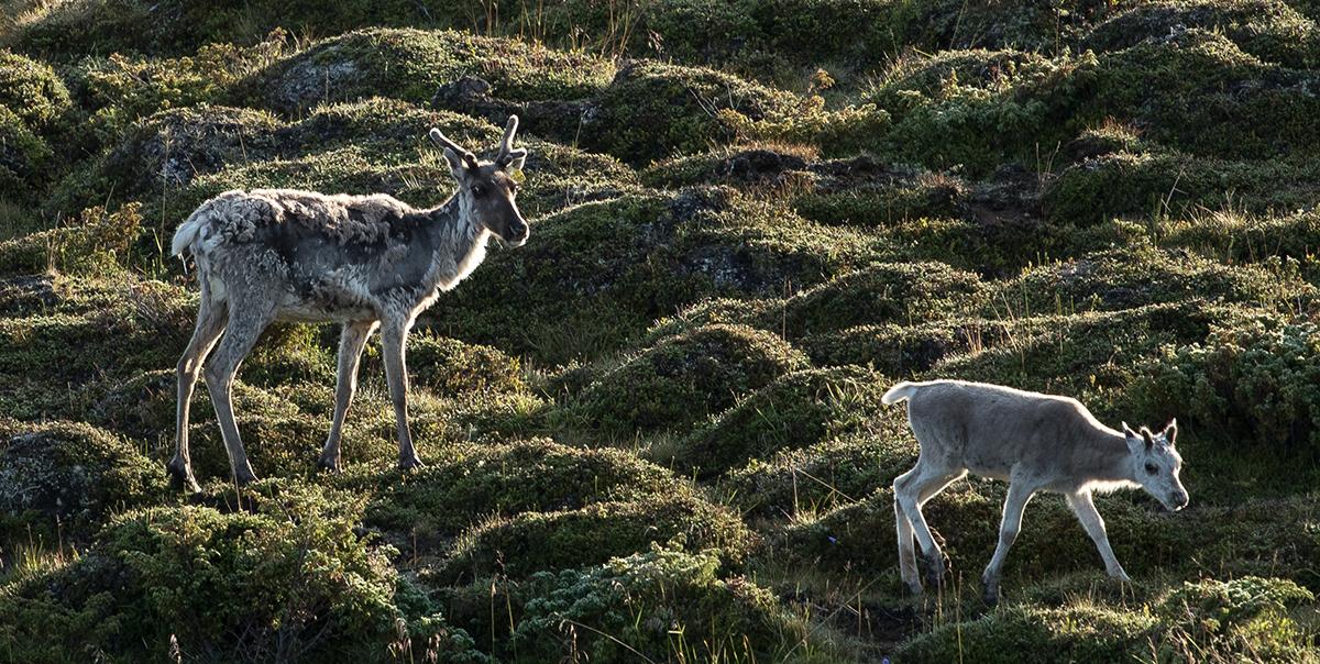 Simler med kalv er ekstra sensitive for slik utbygging. Foto: Kjell Bitustøyl