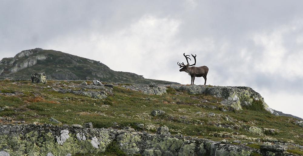 Jakttiden for voksen bukk endres for Hardangervidda og Nordfjella villreinområder. Foto: Anders Mossing
