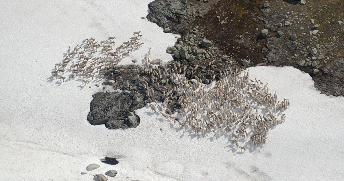 Flyfoto fra årets kalvetelling i Nordfjella sone 2. I denne flokken var det 491 dyr, derav 139 kalv. Foto: Asle Feten