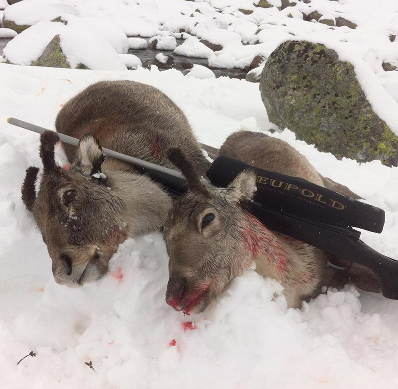 Små kalver fra Hardangervidda på hhv. 12 og 7 kg. Foto: Anders Mossing