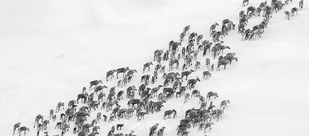 Dagens villrein på Hardangervidda har sterke innslag av tamreingener. Foto: Kjell Bitustøyl