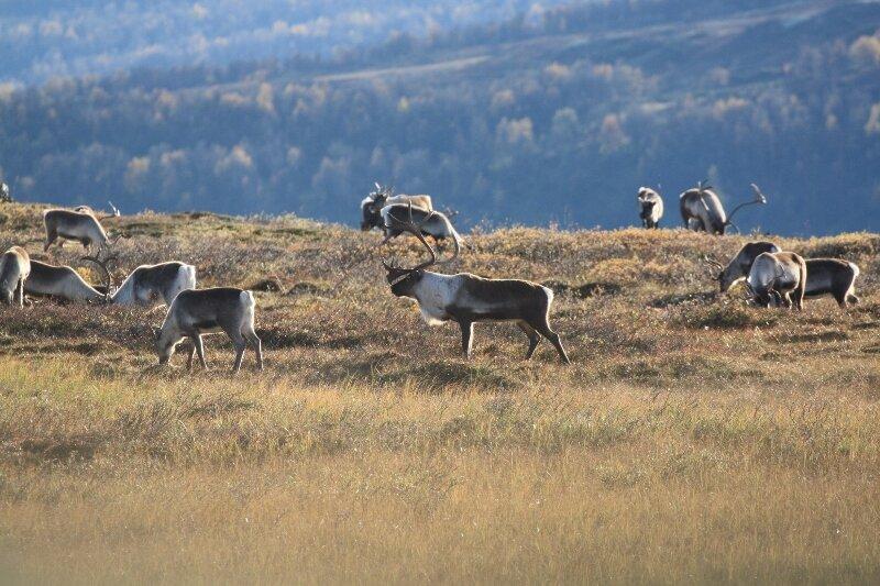 Illustrasjon, høst i villreinfjellet. Foto: Ingrid Sønsterud Myren, Norsk villreinsenter
