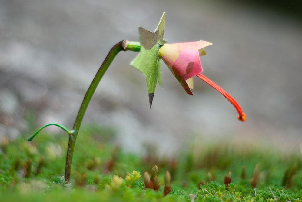 GMO Lily 1