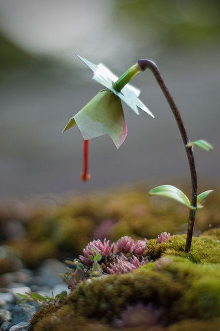 GMO Lily 2