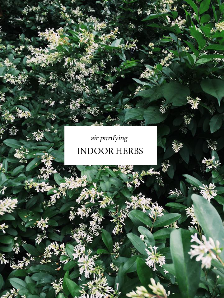 air-purifying-indoor-herbs.png