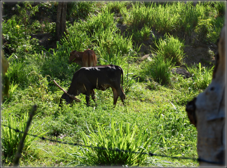 Cows in lush grass.png