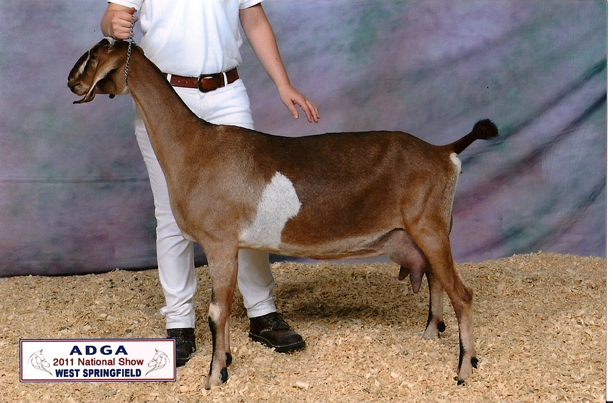 2011 ADGA Nationals 11th place 3 year old