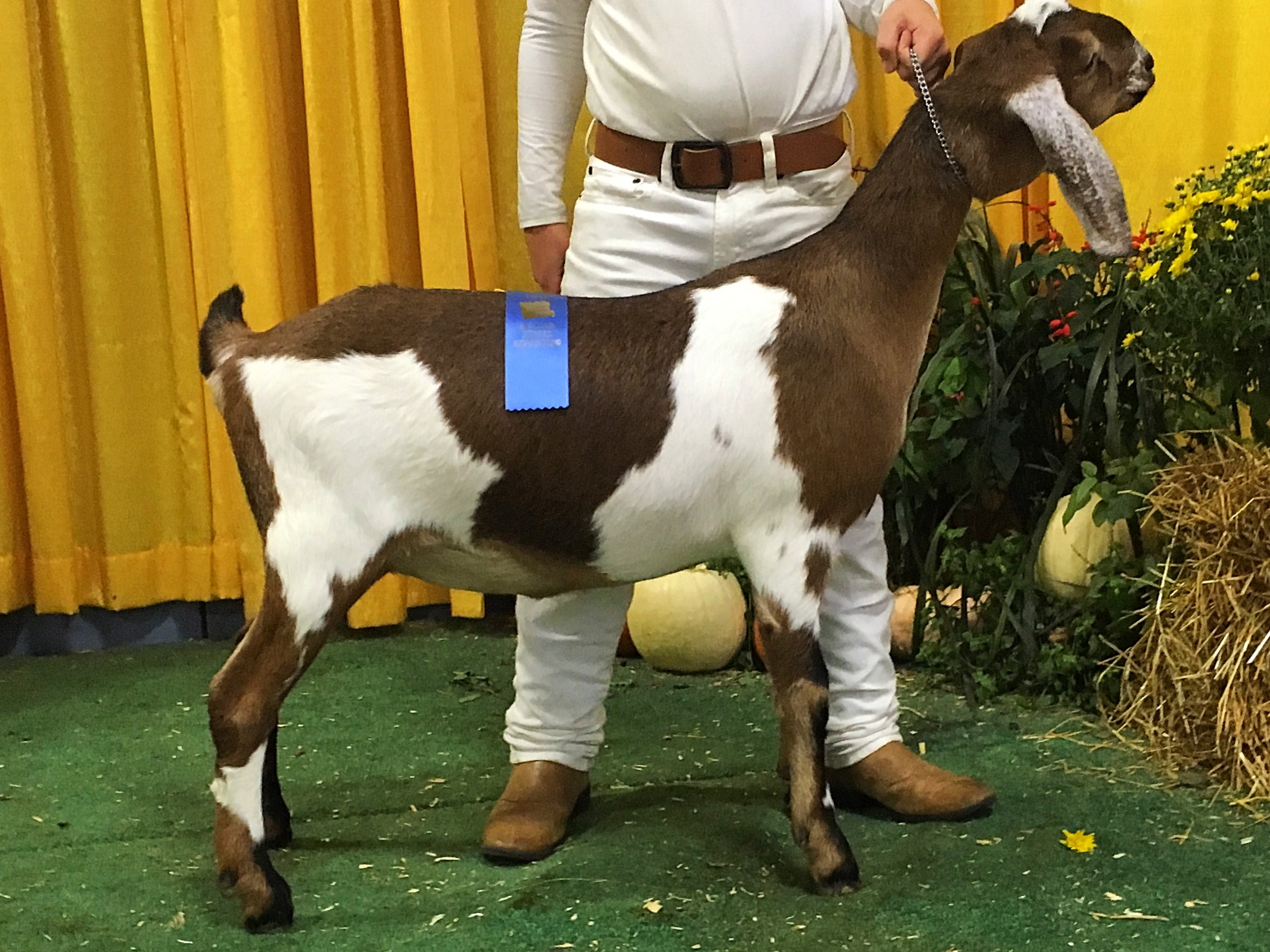 Charm at the 2016 Big E! where she placed 1st in her class