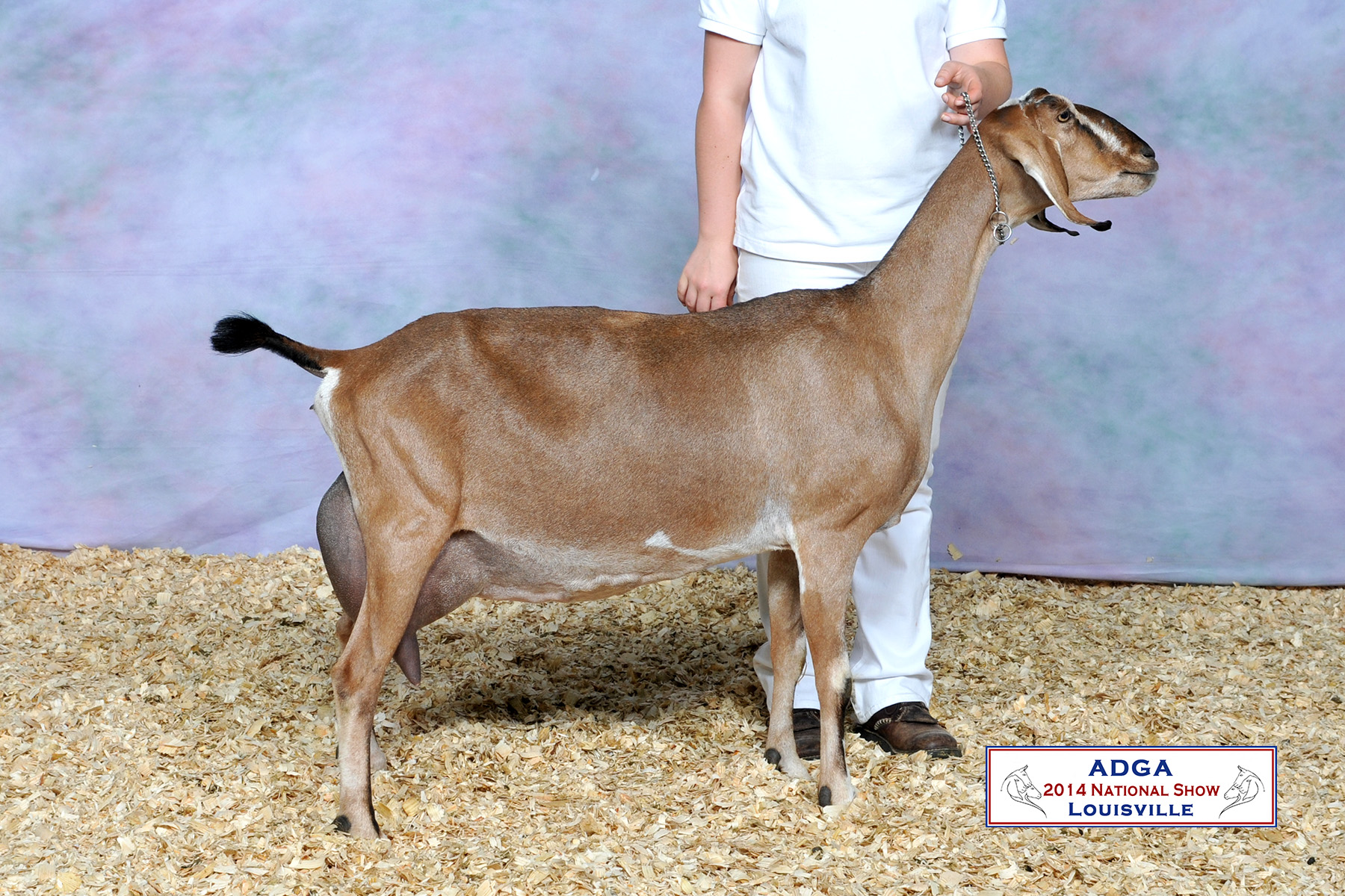 GCH AKM-Farm Carmel 1*M, pictured at 6 years old-Charm's dam