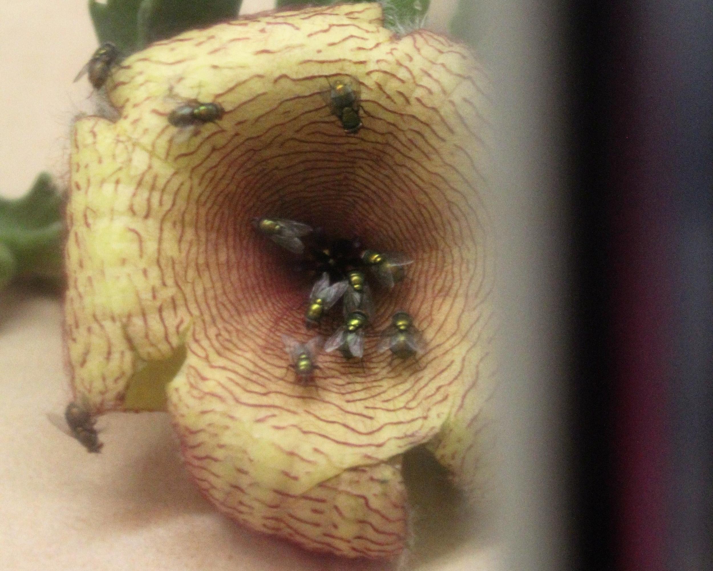 Blow flies swarming a carrion flower.JPG