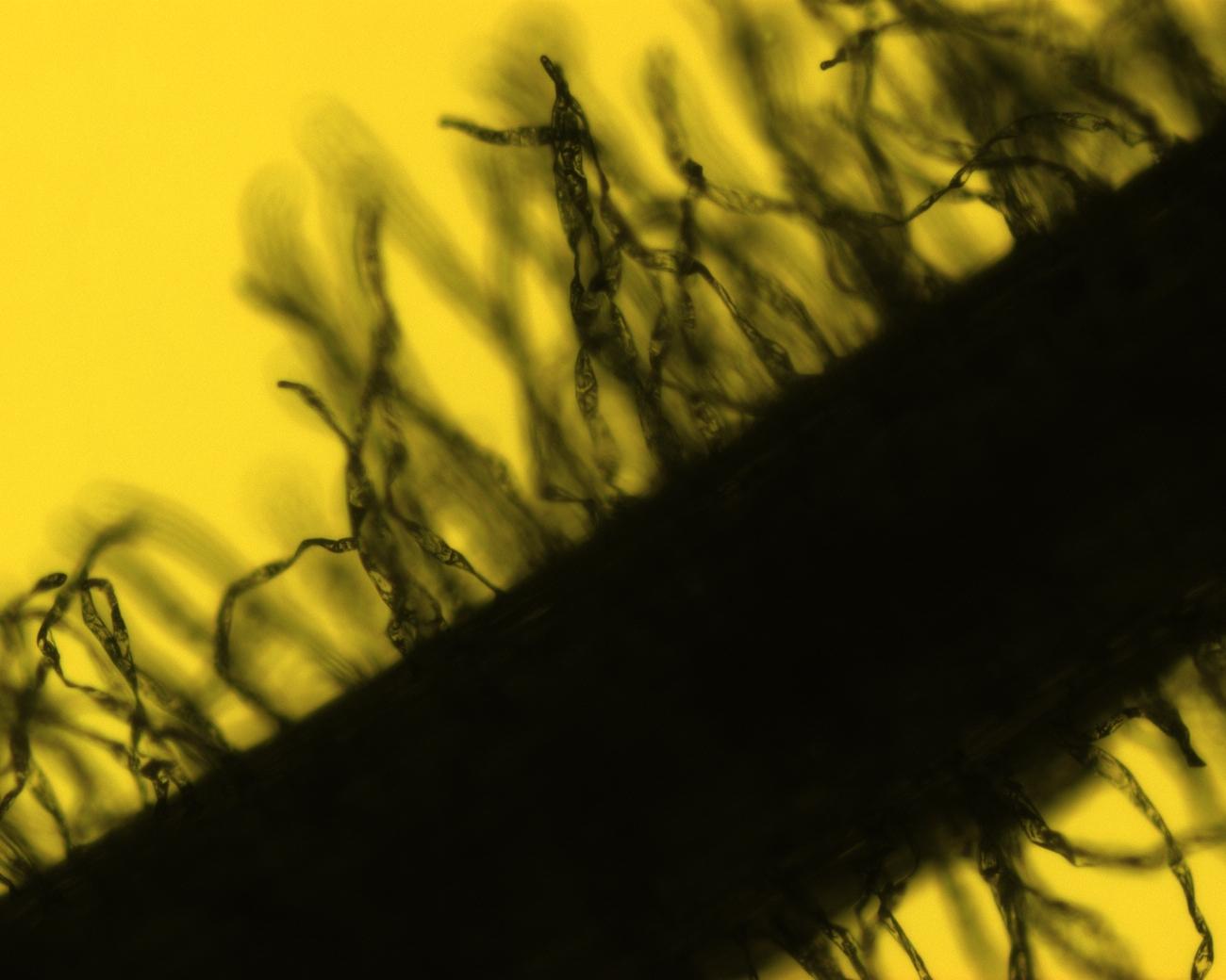 Z. formosa seedling root 4x 3.jpg