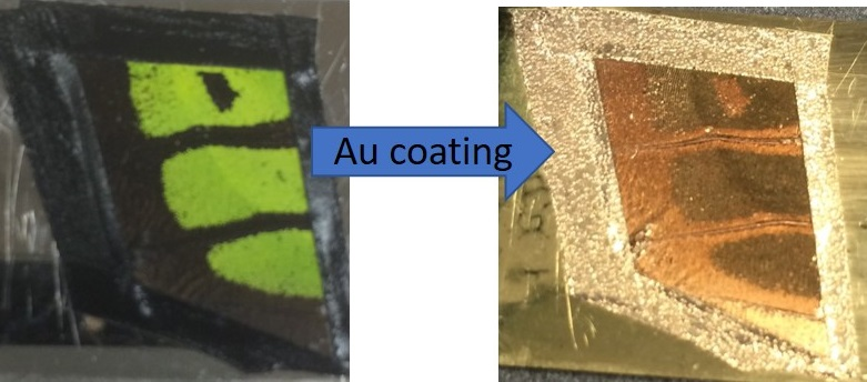 Preparation of a butterfly wing section for MALDI-MSI by vapor deposition of gold