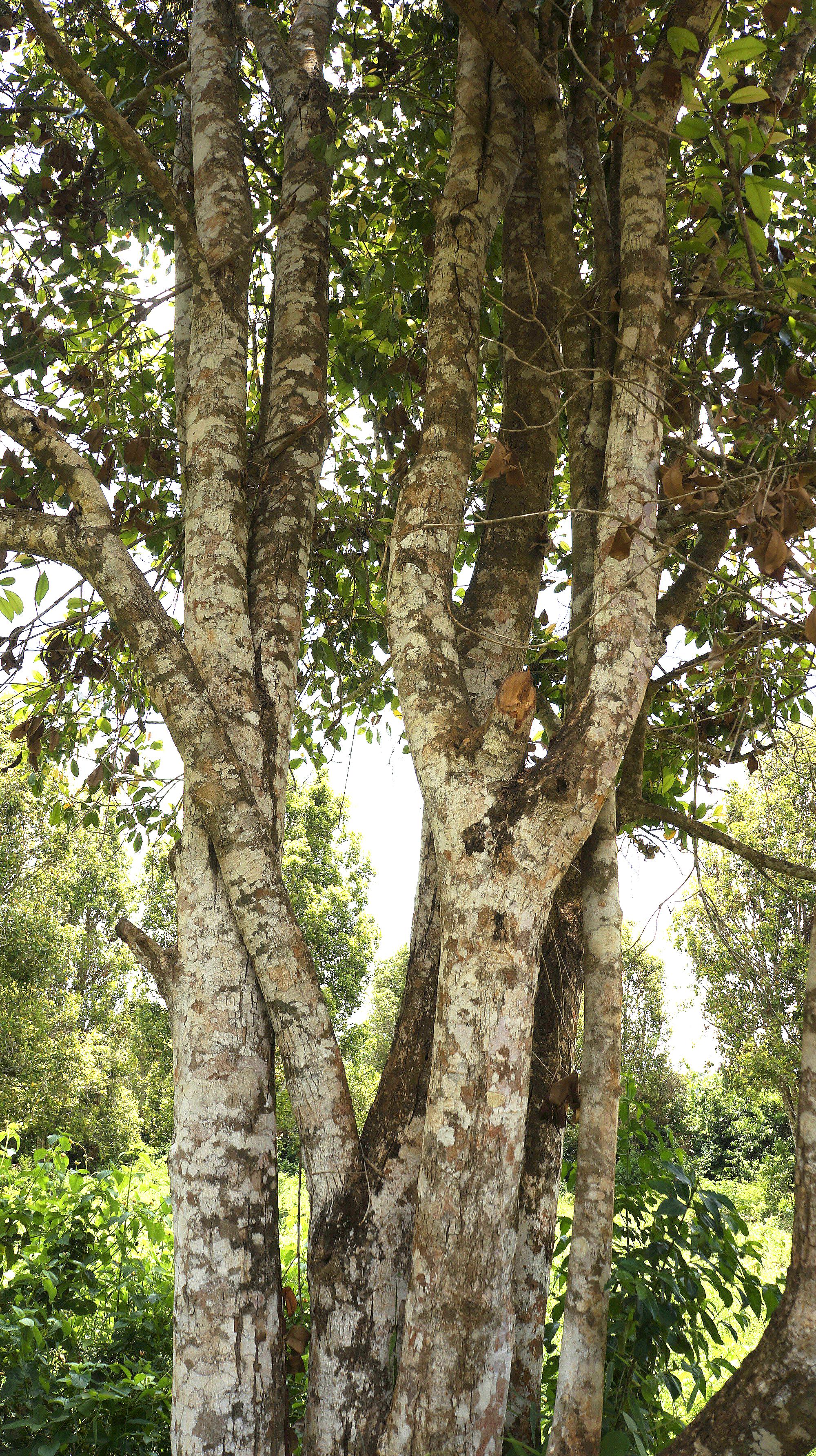 Soapnut tree during our Spice tour in Zanzibar