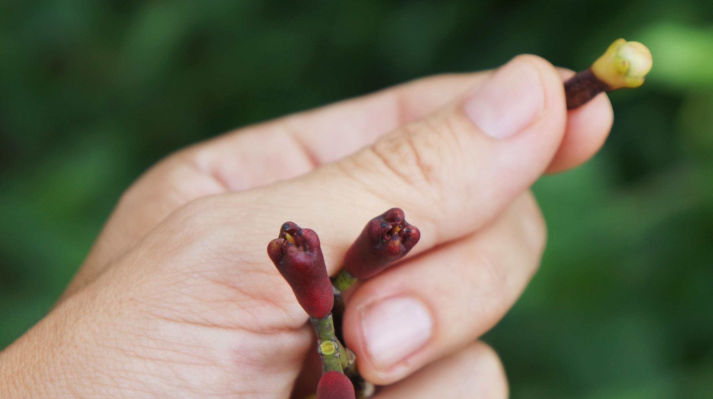 Fresh Cloves