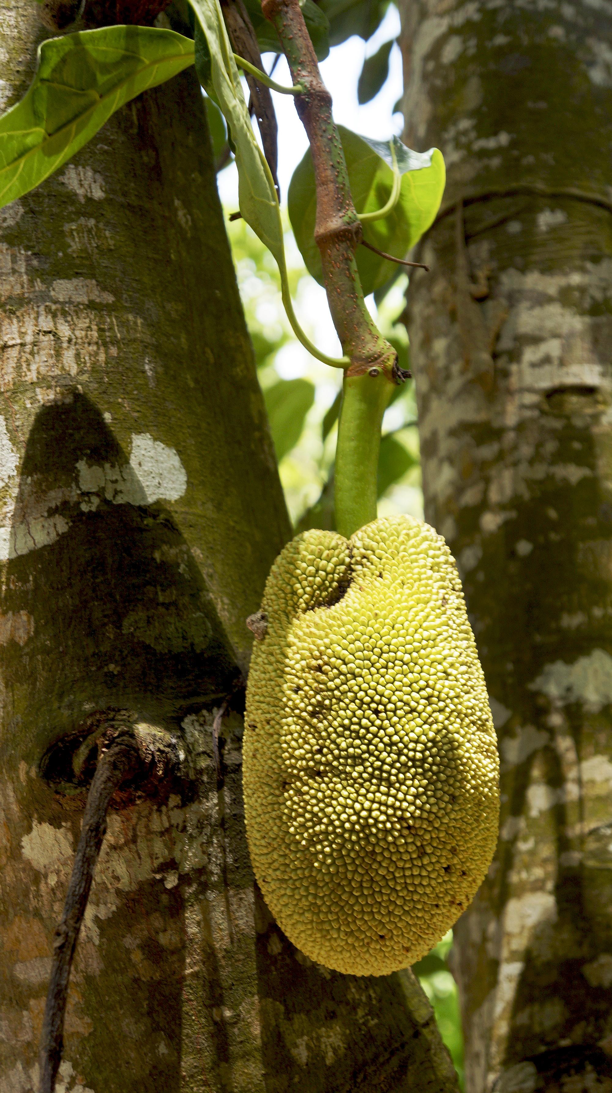 Teen Jackfruit