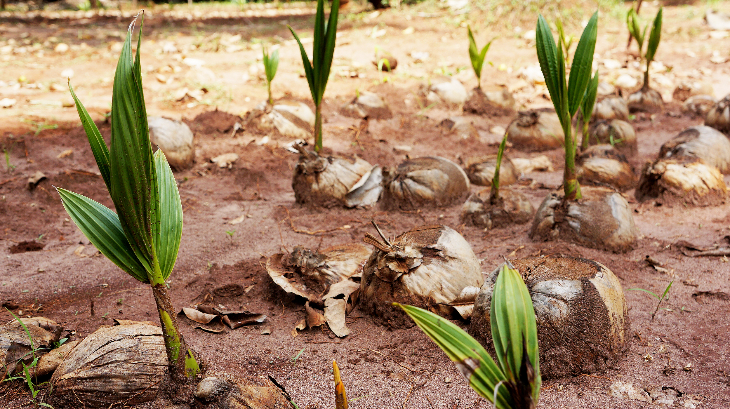 Sprouting Coconut Palms