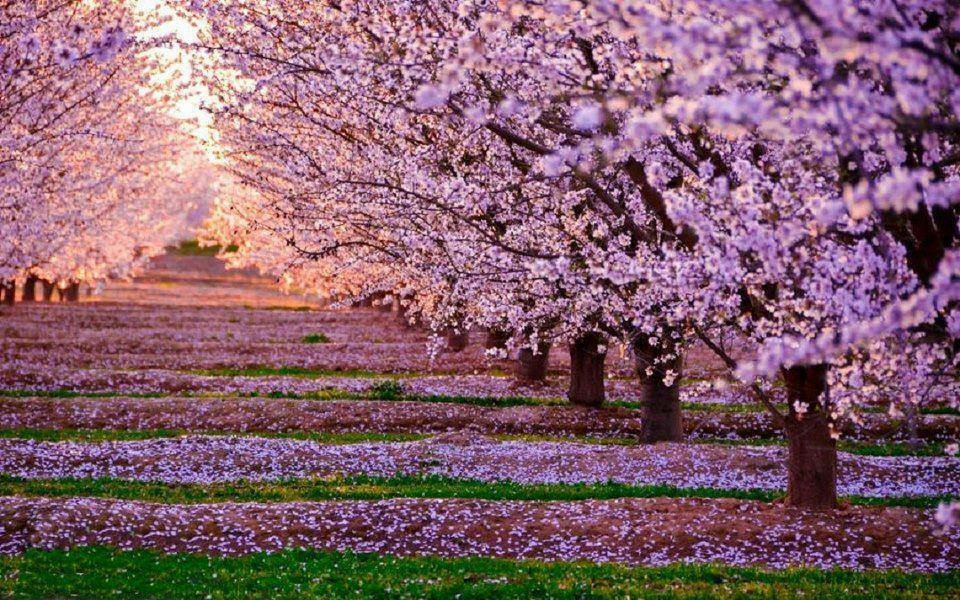 Orchard Cherry Pink Blossoms sunset.JPG