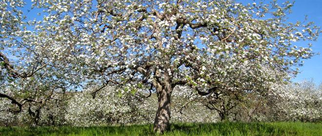 Apple_Tree_Flower_Horz.jpg