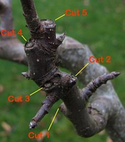 "Apple Tree Pruning Steps Taken Over Two Year Period, To Develop Fruit Bearing ""Spurs"""