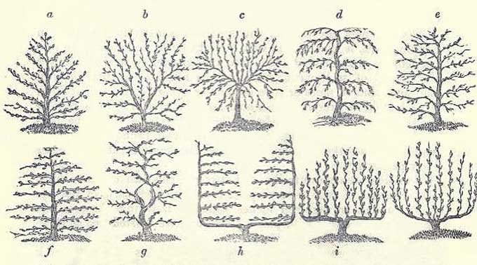 Colonial Espalier Diagram of Various Styles