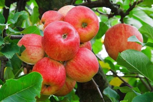 Apples+on+tree+red.jpg
