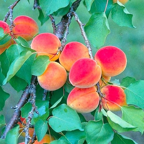 Fruit_tree_peaches_2.jpg