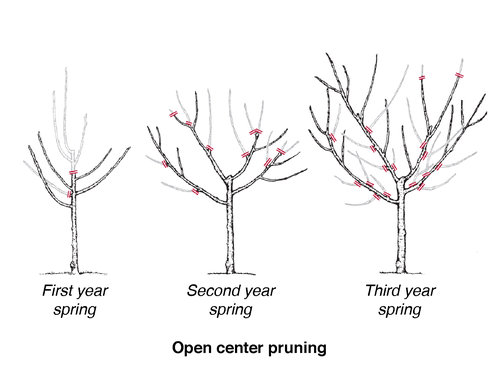 Pruning_diagram_fruit_tree_open-center-pruning.jpg