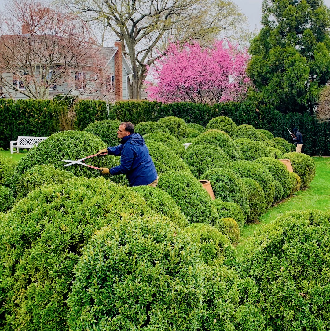 Education_Boxwood_clouds_clipping_upper_cross_view_early_spring_pink_SG_web.jpeg