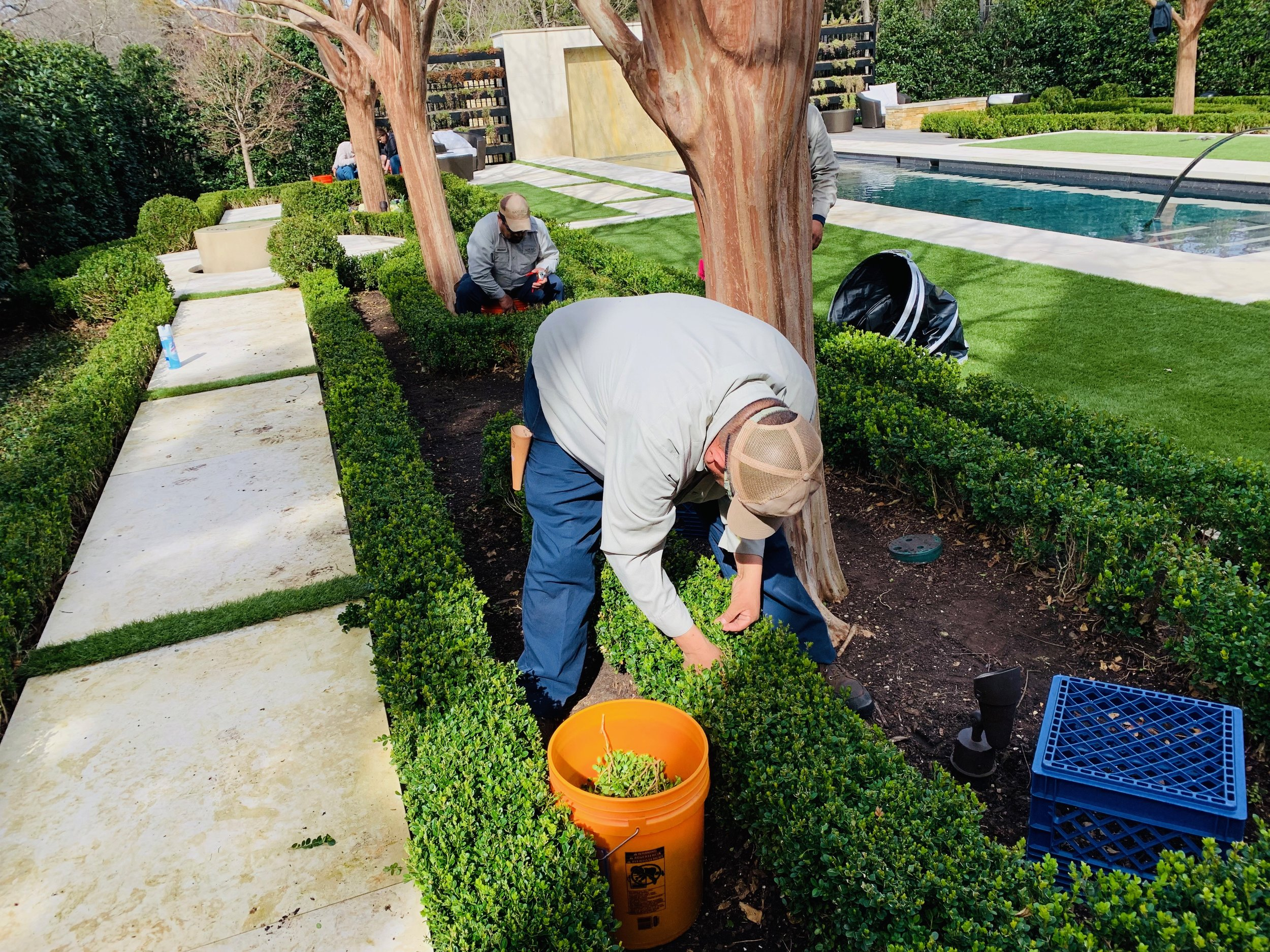 dallas, Texas - expert boxwood parterre hand thinning