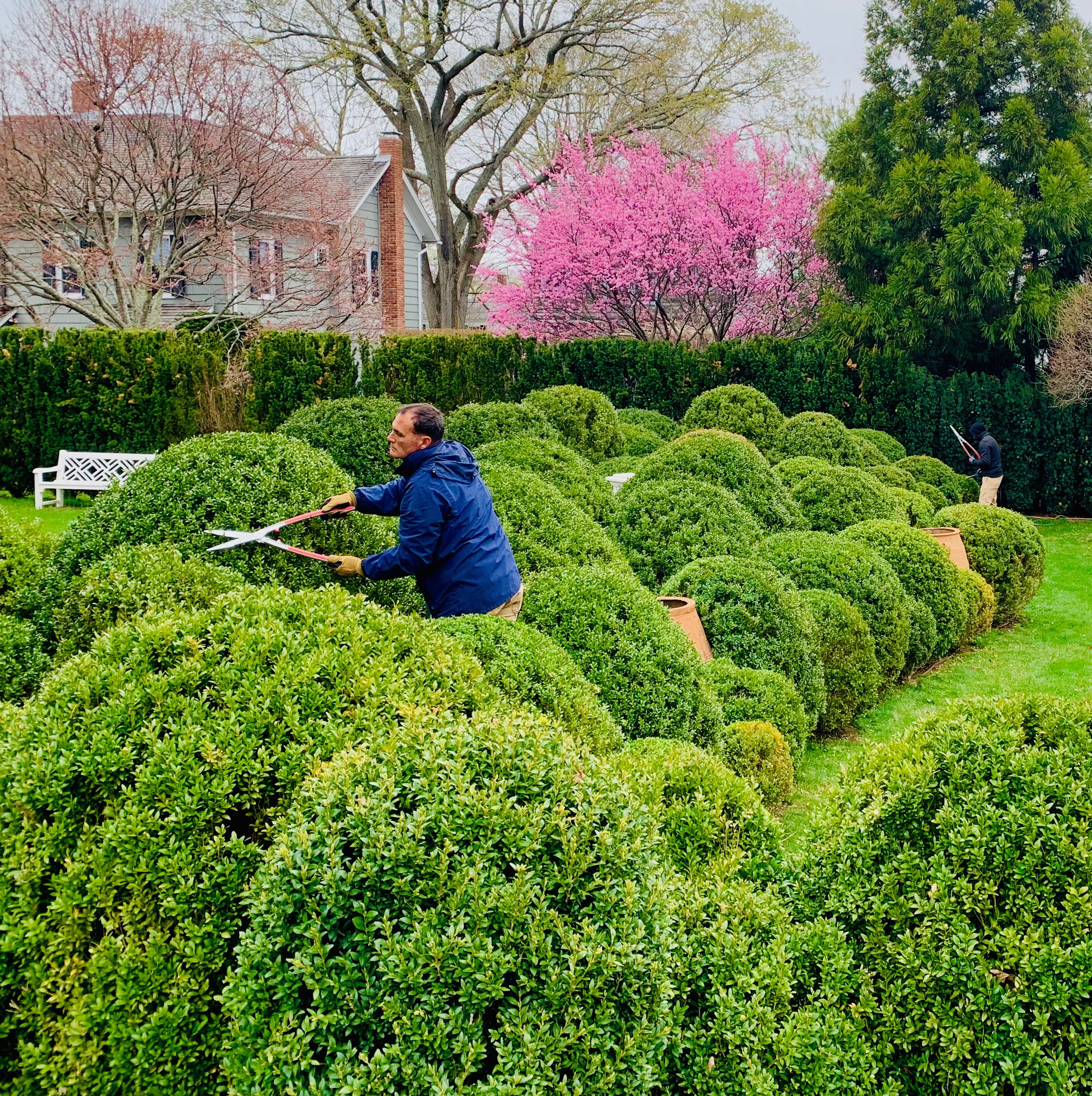 Boxwood_clouds_clipping_upper_cross_view_early_spring_pink_SG.jpeg