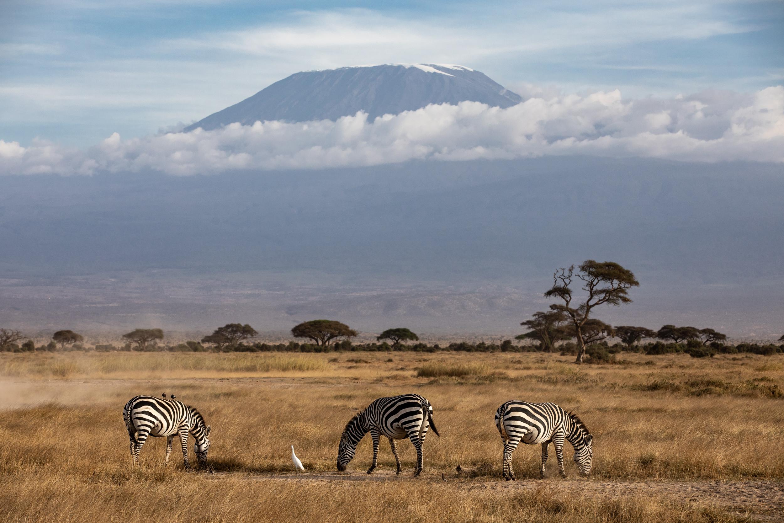 Mount Kilimanjaro emerges from clouds behind Zebra in Amboseli National Park. September 2018 - Amboseli, Kenya