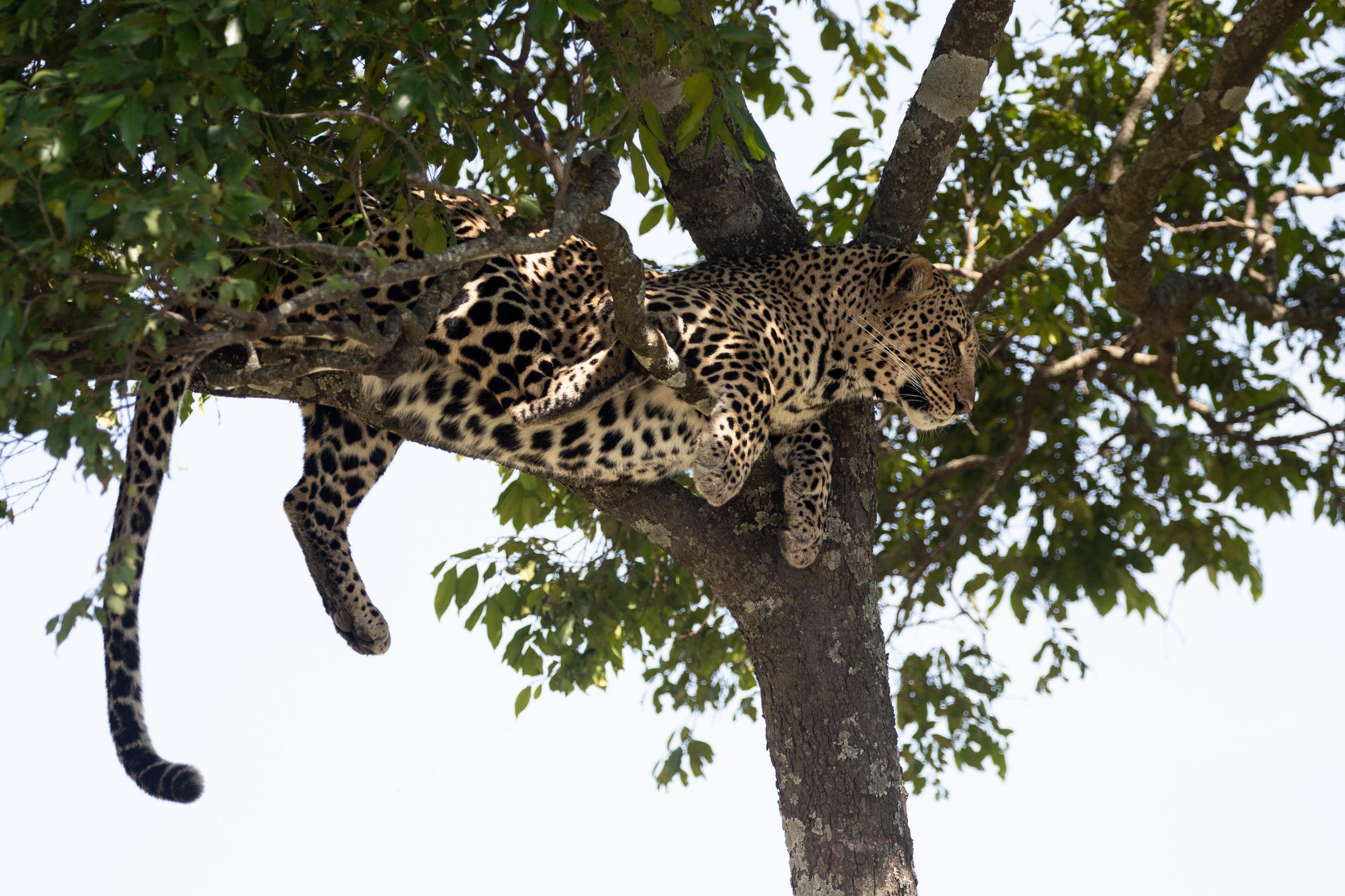 A leopard sits in a tree in Maasai Mara National Park. September 2018 - Maasai Mara, Kenya.