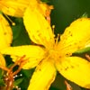 St Johns Wort - Janice Maclean Natural Beauty - Janesce