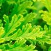 Rose Geranium - Janice Maclean Natural Beauty - Janesce
