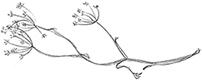Fennel & Fox fennel illustration by Jade Foo