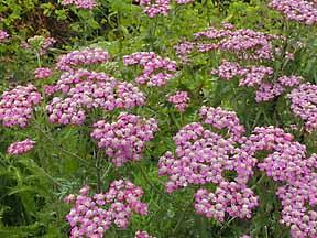 Achillea millefolium var rubra.jpg