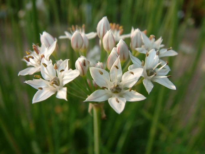 Allium tuberosum.jpeg
