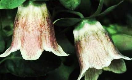 codonopsis.jpg