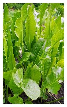 horseradish-plant-200.jpg