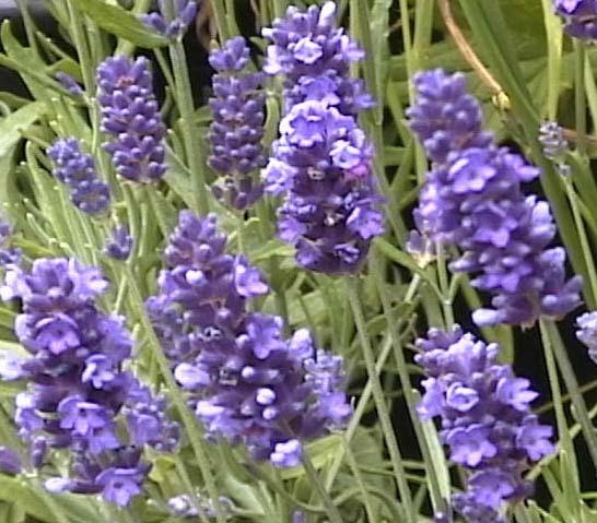 Lavandula angustifolia krajova.JPG