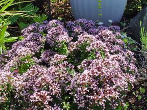 Oreganum vulgare - Humile 2.jpeg