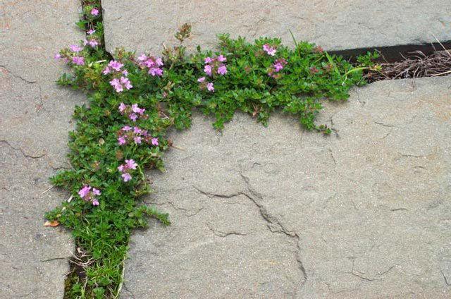 Oreganum vulgare - Humile.jpeg