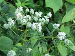 PycnanthemumVirginianum2.jpg