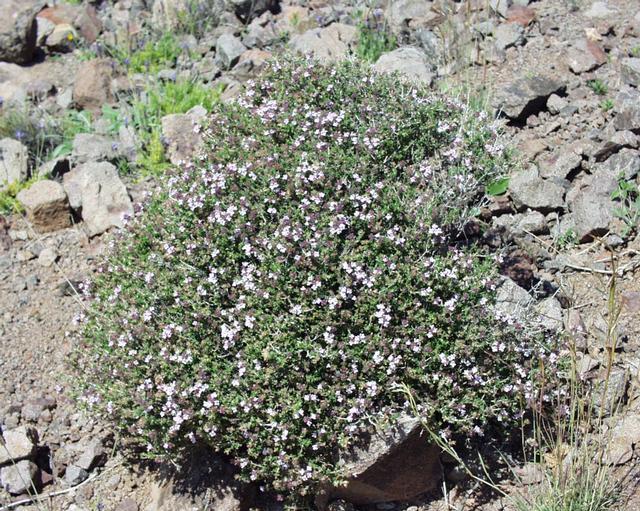 Thymus vulgaris2.JPG