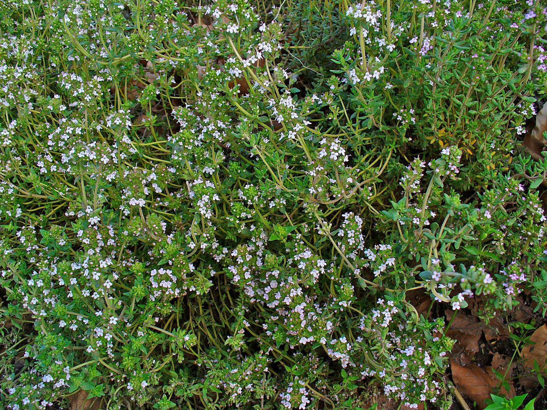 Thymus vulgaris.JPG
