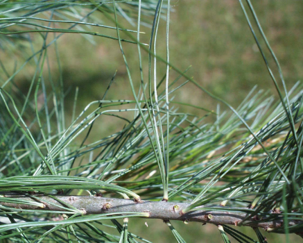 White Pine (Pinus strobus).  Note the 5 needles per bundle!