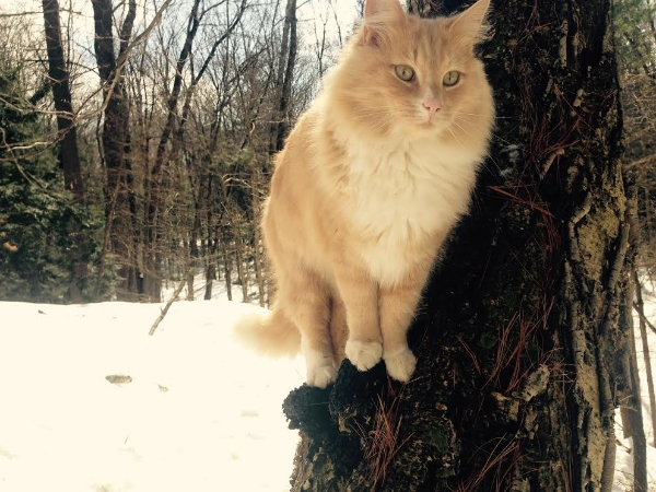 Snow cat with Chaga