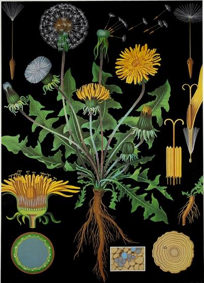 dandelion botanical.png