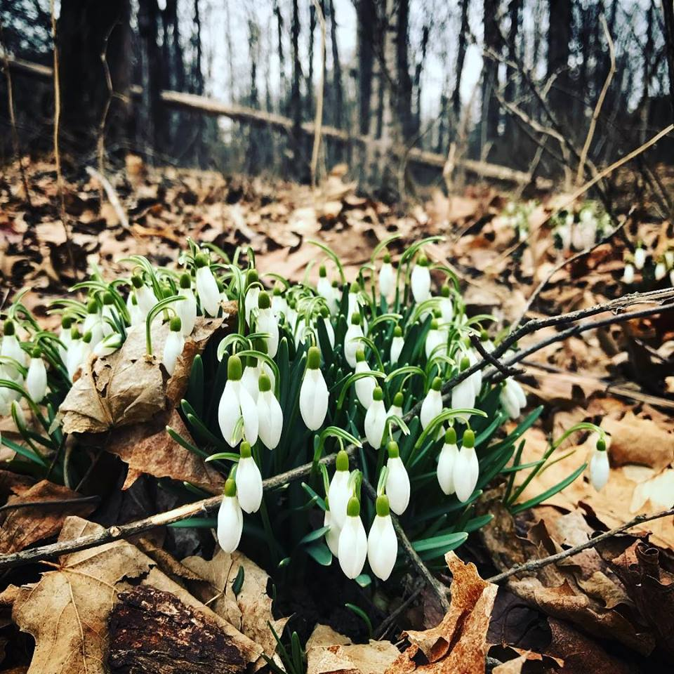 Snowdrops  (Galanthus   nivalis)  pushing through the winter debris and leaves with flexibility and ease