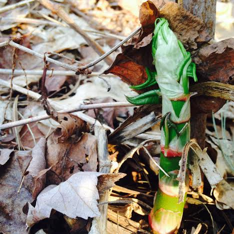 Young Knotweed  (Fallopia japonica)  bursting forth. These shoots can grow more than an inch/day. It really exemplifies the upward-moving, yang energy of the spring! Asparagus is a great example of this too. Young Knotweed shots are delicious- I like to cook them like asparagus and often cook them together. Some folks like to use them in place of Rhubarb in desserts.